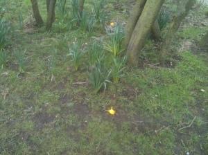 Kamikaze Daffodils!